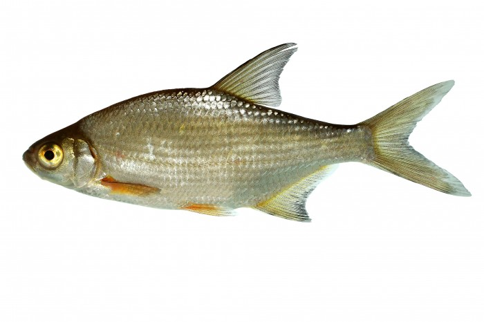 G ster fische abramis bjoerkna naturf hrer online for Heimische fische